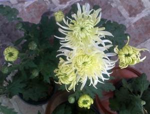 chrysanthemoms