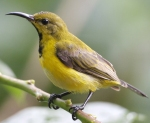 olive-backed-sunbird-878cd193cd11f74dfc50b102c567baa7