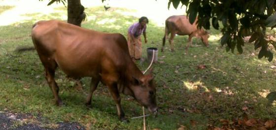 Cowscrop