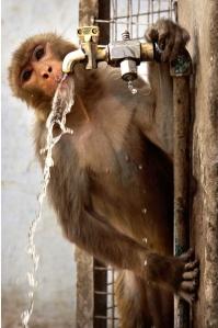 monkey-tap-india_1626153i