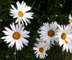 KHouse daisies