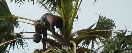 800px-Palm_tree_climber