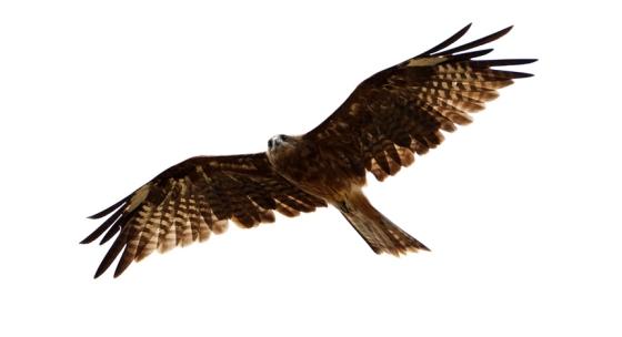 black-kite2