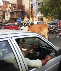 cow in street1