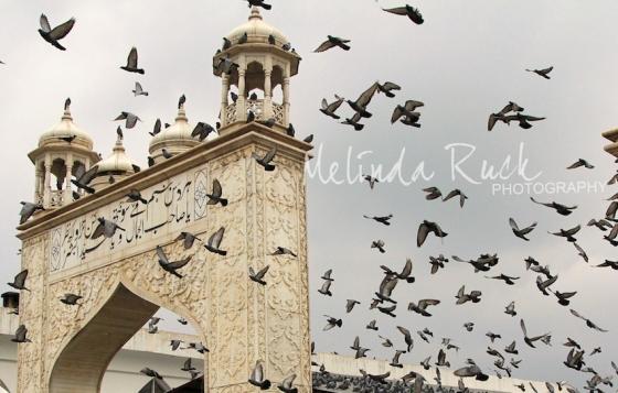 pigeons3b